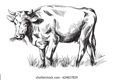 sketches of cows drawn by hand. livestock. cattle. animal grazing