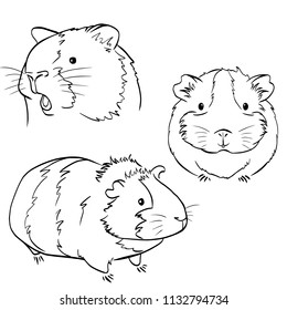 Sketches of different guinea pigs on white background. Set of drawn guinea pigs.