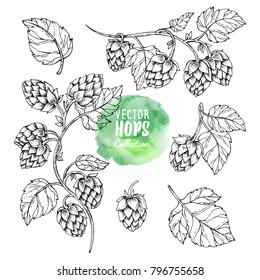 Sketches of hop plant, hop on a branch with leaves in engraving style Hops set. Humulus lupulus illustration for packing, pattern, beer illustration.