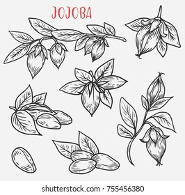 Sketches of jojoba branches. Plant fruit known as goat or deer, quinine nut or pignut, coffeeberry or wild hazel, gray box bush. Cosmetic oil and dermatology, perfume, medical, herbal and health theme