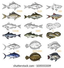 Sketches of ocean fish species. Isolated sea roach and pollock, silver hake and haddock, tuna and winter flounder, tilapia or cichlid, eel. Restaurant menu or fish catch trophy, nautical and maritime