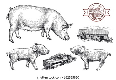 sketches of pigs drawn by hand. livestock