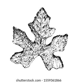 Sketching vector. Ivy Gourd leaf. Black and white drawing illustration vector.