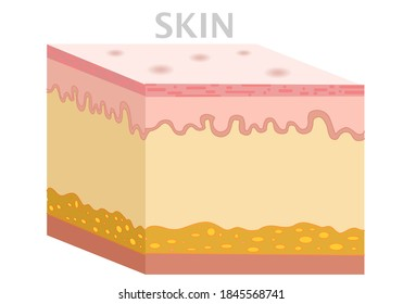 Skin anatomy, diagram. Basic human skin layer. Cubic cross section. Organ structure parts dermis, epidermis, subcutis, hypodermis. Clean, isolated white background. Biology illustration vector