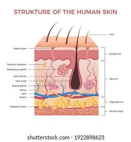 Skin anatomy. Human normal skin dermis epidermis adipose layers recent vector biological infographic