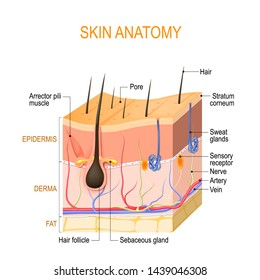 Skin anatomy. Layers: epidermis (with hair follicle, sweat and sebaceous glands), derma and fat (hypodermis). Vector diagram for educational, medical, biological, and scientific use