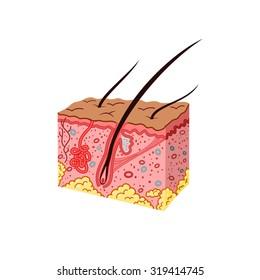 Skin Anatomy vector