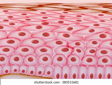 Skin Cells, Layers - Vector Illustration