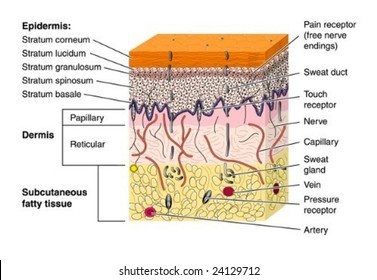 Skin cross section - labeled