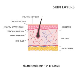 Skin layers: Epidermis, Dermis, Hypodermis flat vector illustration
