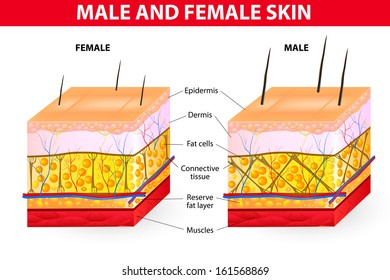 Skin male and female. Men tend to have more connective tissue that are better support to the surrounding structures of the skin and fat. A woman fat cells are held by cube-like structures.