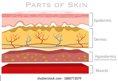 Skin parts, diagram. Glabrous human skin layers. Anatomy parts dermis, epidermis, hypodermis, subcutaneous tissue, muscle, blood vessels. Hairless section structure. Explanations.  illustration vector