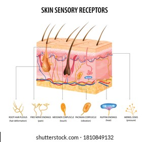 Skin sensory receptors concept with nerve and hair flat vector illustration