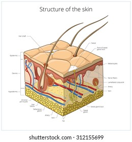 Skin structure, animal skin, human skin, body structure, veterinary, hair, vector illustration, slice