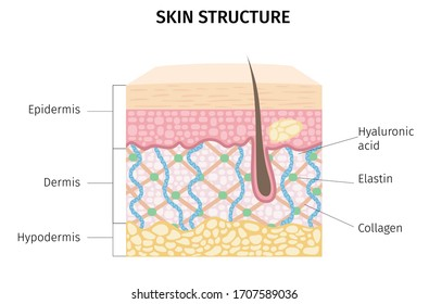 skin structure, old skin, young skin,