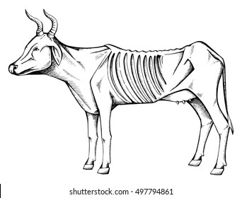 Skinny Cow. Hungry cow. Sick cows. Stylized. Line art. Drawing by hand. Graphic arts. Doodle. Sketch.
