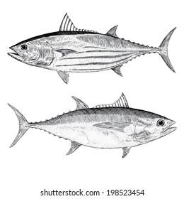 SkipJack and Big Eye Tuna Illustrations