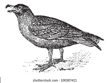 Skuas, vintage engraved illustration. Dictionary of words and things - Larive and Fleury - 1895.