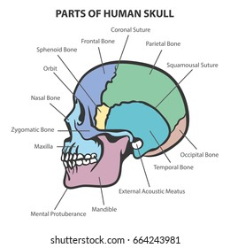 Diagram of the skull electrical drawing wiring diagram diagram of the skull images gallery ccuart Images
