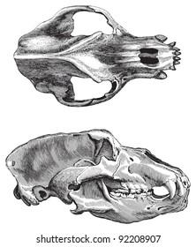 Skull cave bear (Ursus spelaeus) / vintage illustration from Meyers Konversations-Lexikon 1897