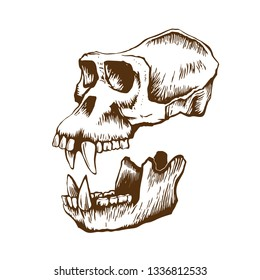 Skull of monkey gorilla with a separate lower jaw. Isolated on white background, vector