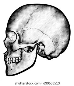 Skull in profile side view drawing in a vintage retro woodcut etched or engraved style