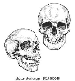 skull set, skeleton head anatomy ink hand drawn engraving line art stock vector vintage illustration