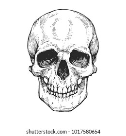 skull, skeleton head anatomy ink hand drawn engraving etching line art stock vector vintage illustration