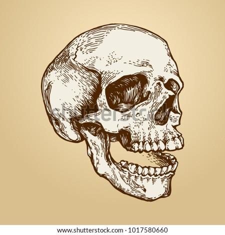 Skull Skeleton Head Anatomy Ink Hand Stock Vector (Royalty Free ...