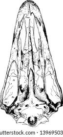 The Skull Structure of an Ostrich where the ossified nasal septum continues in the axis of the skull vintage line drawing or engraving illustration.