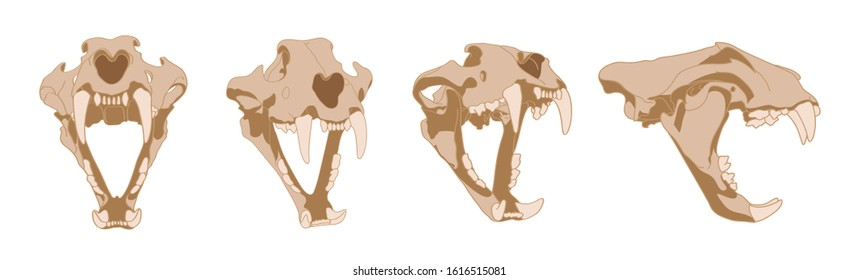 Skull of a tiger. The. Set of skulls with fangs of a predator in different angles. Tiger Skeleton anatomy. The head of a big cat.
