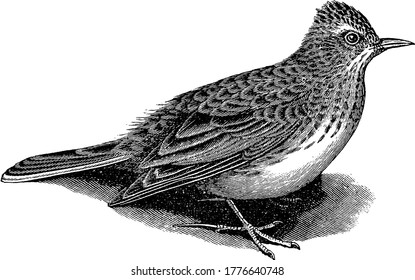 Skylark is a small brown bird in the lark family Alaudidae., vintage line drawing or engraving illustration.