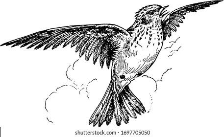 Skylark is a small passerine bird, vintage line drawing or engraving illustration.