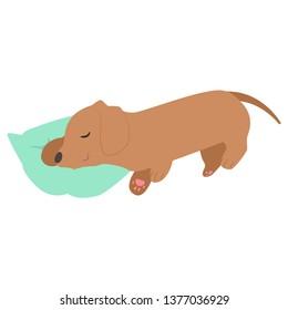 sleeping brown Dachshund
