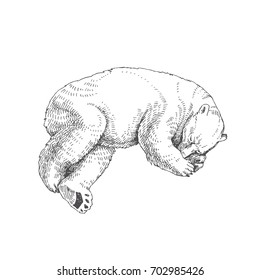 Sleeping polar bear. Vector hand drawn illustration with wild north animal isolated on white background.