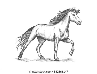 Slender white horse portrait. Wild raging mustang stomping hoof on ground. Horserace purebred strong stallion running against wind in free gait. Vector pencil sketch, etching