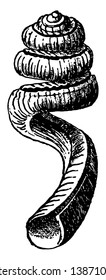 Slit Worm Snail is a gastropod mollusc that has an eloongated shell with a narrow slit down its length, vintage line drawing or engraving illustration.