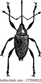 Small beetle, Weevil. It's head is in the shape of snout, therefore called as snout beetles. The species mostly fall in the family Curculionid, vintage line drawing or engraving illustration.