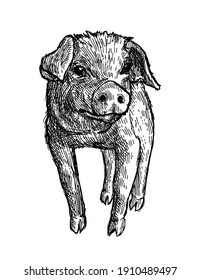 Small Cute Pig Isolated on White Background in Sketch Style. Hand Drawn Domestic Animals Vector Illustration.