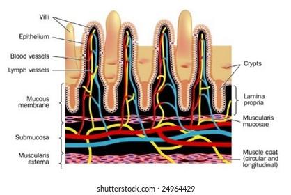 Small intestinal villi - labeled