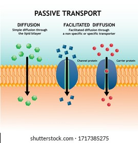 Small molecules across the phospholipid bilayer membrane by using diffusion and passive transports