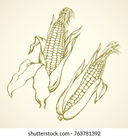 Small ripe raw yellow sweetcorn on white backdrop. Fresh tasty diet produce. Freehand linear black ink hand drawn picture logo emblem sketchy in art retro doodle style pen on paper with space for text