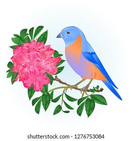 Small songbirdon Bluebird  thrush and pink rhododendron spring background vintage vector illustration editable hand draw