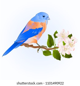 Small thrush Bluebird songbirdon on a apple trre with flowers vintage vector illustration editable hand draw