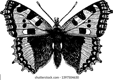 Small Tortoise Shell Butterfly which is smaller vintage line drawing or engraving illustration.