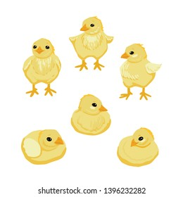Small yellow chicks in different poses. Birds are children. Village pets for a walk. Characters for design on a white background. Vector illustration.