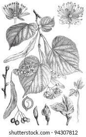 Small-leaved Lime (Tilia cordata) / vintage illustration from Meyers Konversations-Lexikon 1897