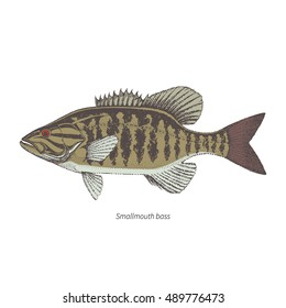Smallmouth bass hand drawn outline color vintage vector illustration. Isolated on white background.