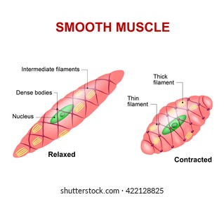 Smooth Muscle Diagram