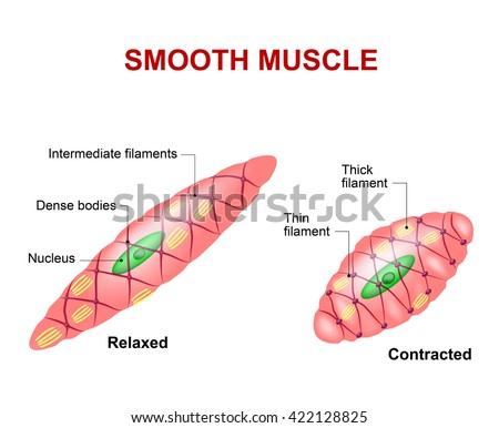Smooth Muscle Tissue Anatomy Relaxed Contracted Stock Vector ...